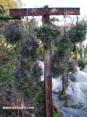 Se vende claveles del aire gijn for Vendo plantas ornamentales