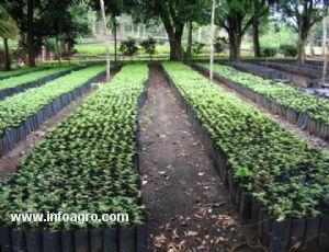 Se vende ventas de plantas chinola lechoza y granadillo for Vendo plantas ornamentales