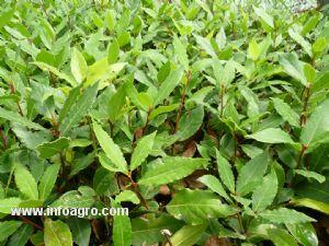 Se vende plantas enraizadas de laurel bogota for Vendo plantas ornamentales