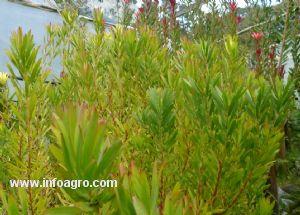 Se vende plantas de proteaseas for Vendo plantas ornamentales
