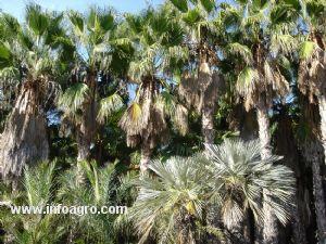 Se vende palmeras rboles ornamentales jerez de la frontera for Vendo plantas ornamentales