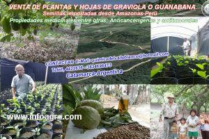 Se vende plantas de graviola o guanabana 500000 for Vendo plantas ornamentales