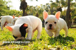 Se vende cachorros bulldog frances en adopcion gratis - Bulldog frances gratis madrid ...