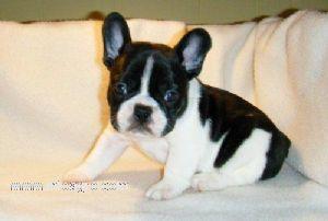 Regalo labrador cachorro madrid