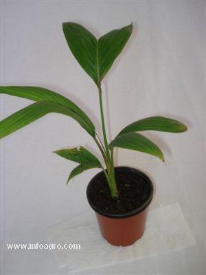 Se vende palmeras jovenes yuccas hesperaloe dasylirions for Vendo plantas ornamentales
