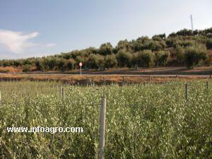 Se vende de plantas de olivo bujalance for Vendo plantas ornamentales