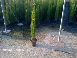 Se vende ciprs adelfa y plantas aromticas cullera for Viveros frutales bogota