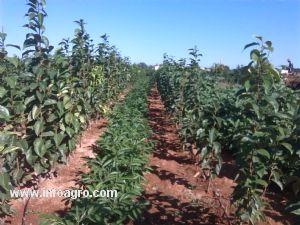 Se vende plantas de kakis corbera for Vendo plantas ornamentales