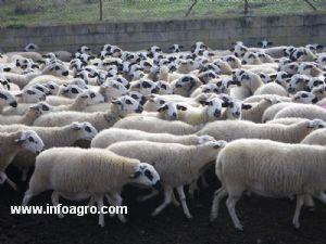 Se Vende 450 Ovejas Ojaladas Sorianas El Burgo De Osma