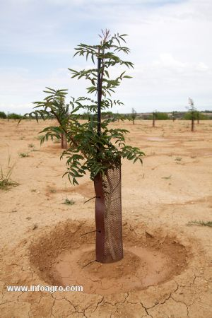 Se vende plantas de pistacho les borges blanques for Vendo plantas ornamentales