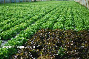 se vende lechugas verde crespa  morada crespa y romana cali  lechuga crespa morada precio