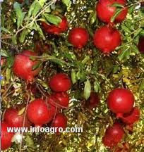 Se vende plantas de granado puol for Vendo plantas ornamentales