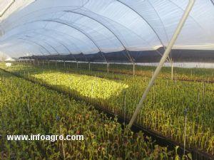 Se vende plantones de arandanos bonares for Vendo plantas ornamentales