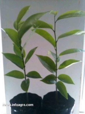 Se vende plantas de guanbana en mlaga mlaga for Vendo plantas ornamentales
