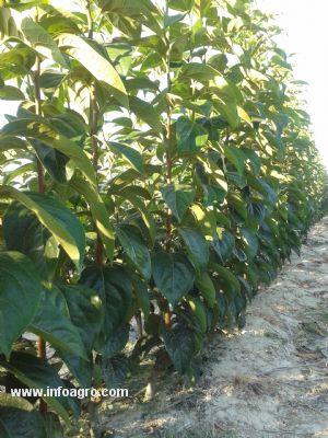 Se vende plantas caqui kaki rojo brillante montichelvo for Vendo plantas ornamentales