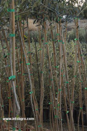 Se vende plantas de olivo enmacetadas bujalance for Vendo plantas ornamentales
