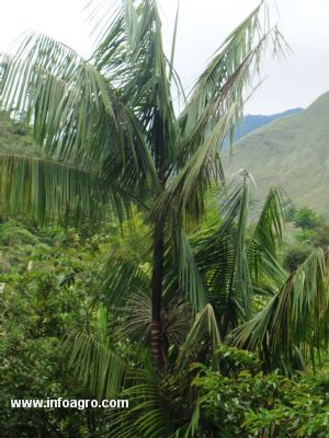 Se vende plantas de palma aa el iimonal ibarra for Vendo plantas ornamentales