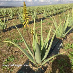 Se vende plantines aloe vera ecolgico paradas for Vendo plantas ornamentales