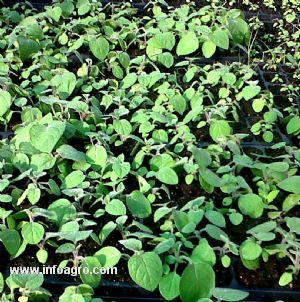 Se vende plantas de aguaymanto lima for Vendo plantas ornamentales