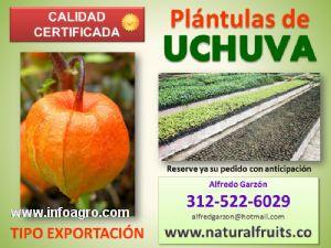 Se vende plntulas de uchuva semilla y plantas en vivero for Viveros de plantas en vigo