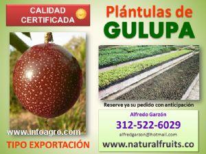 Se vende pl ntulas de gulupa semilla y plantas en vivero for Viveros en granada