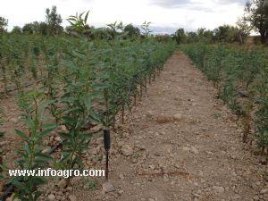 Se vende vivero planta almendro cullar for Vendo plantas ornamentales