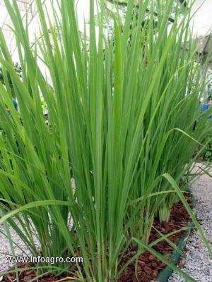 Se vende citronela planta repelente de incectos medellin for Vendo plantas ornamentales