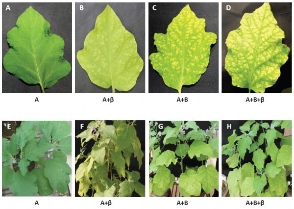 tomato leaf curl virus pdf
