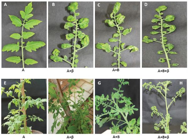 molecular characterization and infectivity of a tomato leaf curl, Natural flower