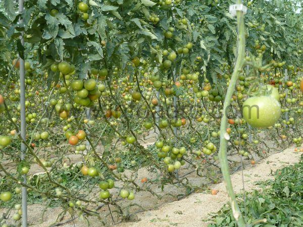 El Cultivo Del Tomate Parte I