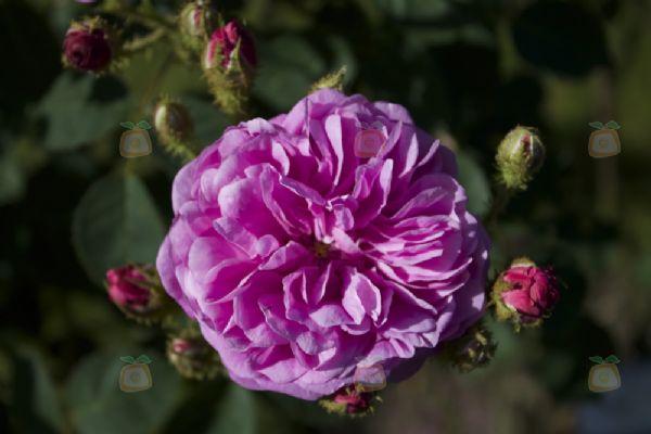 foto rosa centifolia fotografia patrick nouhailler