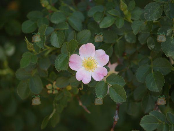 foto rosa eglanteria fotografia lostinfog