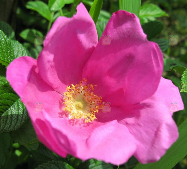 foto rosa rugosa fotografia tanaka juuyoh