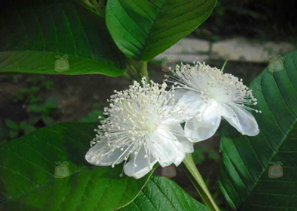 foto la flor de la guayaba fotografia victor manuel