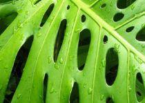 Costilla de adan reproduccion asexual de las plantas