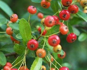 Desinfecci n de peque os frutos rojos ar ndano frambuesa for Arbol de frutos rojos pequenos
