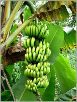 El cultivo del pltano banano for Banano de jardin