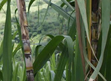El Cultivo De La Caña De Azúcar