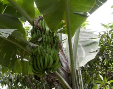 El cultivo del plátano (banano)