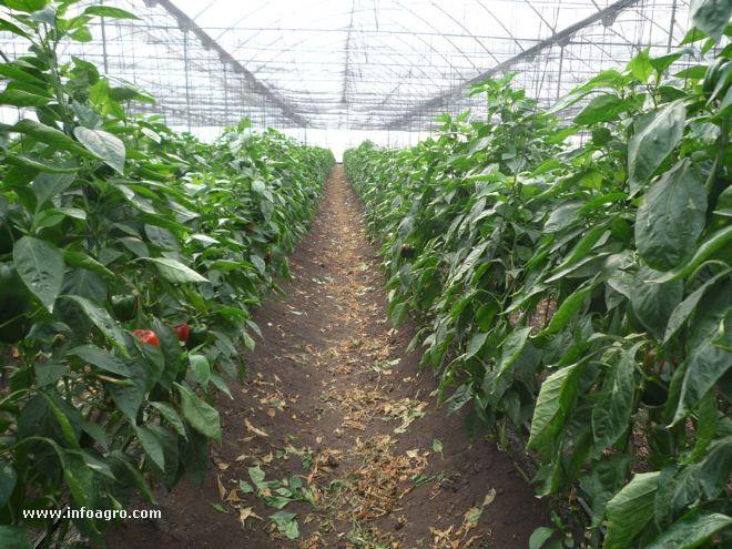 Foto de invernadero de chiles pimientos Plantas de invernadero