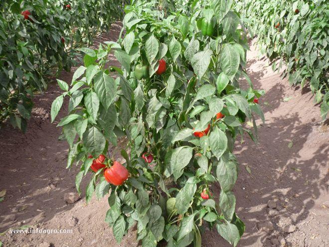 Foto de plantas pimiento california for Planta de chile
