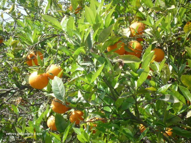 660 x 495 jpeg 98kB, Arbol De Mandarina Foto de mandarinas en el arbol