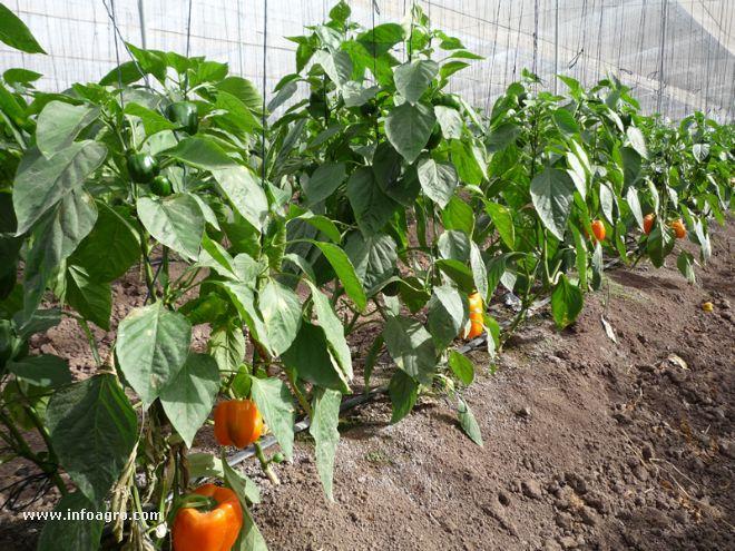 Foto de plantas de pimiento en invernadero Plantas de invernadero