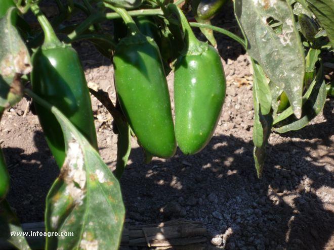 Foto de planta de chile verde for Planta de chile