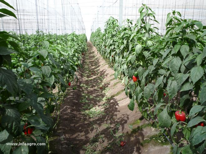 Fotograf a de pasillo de invernadero con cultivo de for Cultivo pimiento huerto urbano