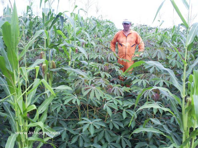 Foto de sembrado de plantas de yuca veronica for Yuca planta de exterior