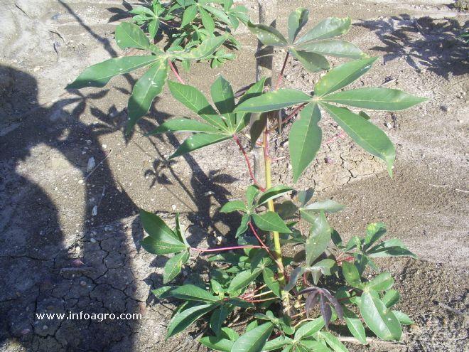 Foto de planta de yuca enferma for Yuca planta de exterior