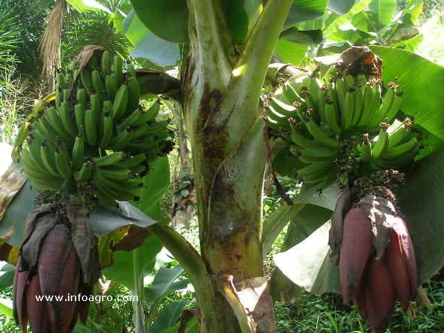 Fotograf a de tomada de una planta en mi jardin de mi casa for Banano de jardin