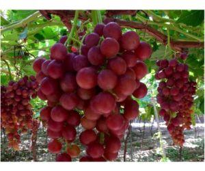 La ltima variedad de uva de mesa del itum imida se comercializar en 2018 - Variedades de uva de mesa ...